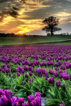 Sunset over field of tulips by Kim Schou (Vesterborg, Denmark) Beautiful Nature Pictures, Amazing Nature, Beautiful Landscapes, Beautiful Flowers, Beautiful Places, Beautiful Scenery, Tulip Fields, Flower Landscape, Tulips Flowers