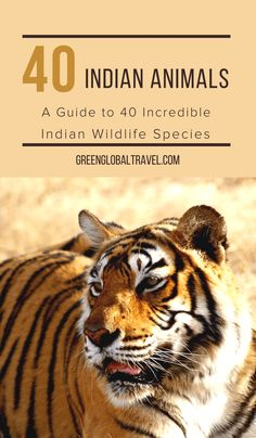 Indian Animals: A Guide to 40 Incredible Indian Wildlife Species India Travel Guide, Asia Travel, Travel Couple, Family Travel, Indian Animals, Wildlife Of India, Animal Experiences, Asian Elephant, Visit India