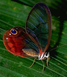 Clear-winged butterfly. Most butterflies have scales all over their wings to produce the colors, but clear-winged butterflies are missing many of them, and they're hence, partially transparent, and thus hard to see and catch.