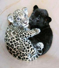A baby jaguar cuddling with a baby panther.