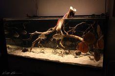 관련 이미지 Biotope Aquarium, Discus Aquarium, Freshwater Aquarium Plants, Discus Fish, Planted Aquarium, Aquariums, Manzanita Driftwood, Manzanita Branches, Discus Tank