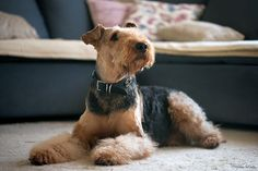 Airedale Terrier, Terriers, Portrait, Dog Pictures, Best Dogs, Dog Breeds, Fun Facts, Cute Animals, Welsh