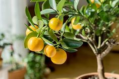 Indoor Citrus Trees - Tips For Growing Citrus Houseplants Tropical Fruits, Tropical Plants, Dwarf Fruit Trees, Scented Geranium, Comment Planter, Citrus Trees, Orange Trees, House Plant Care, Best Indoor Plants