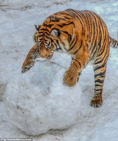 Let's play ball: One of the tigers has fun with the massive snowball at the Midlands zoo in this photo taken by Mr Thomas