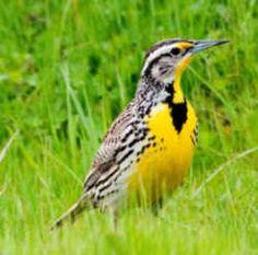 40 best kansas images on pinterest kansas state bird american