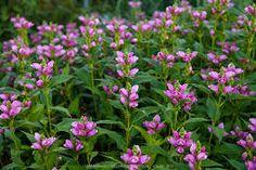 CHELONE obliqua - Duehoved/Skjoldblomst, farve: mørk rosa, lysforhold: sol, højde: 80 cm, blomstring: august - september, velegnet til snit.