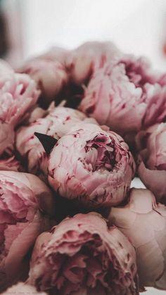 Обои   Цветы   Пионы