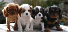 Cavaliers - all four colors! Ruby, Blenheim, Tri, Black and Tan! How Special