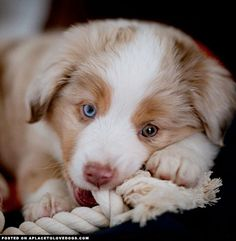 World, meet the most adorable mini Australian Shepherd puppy Koa! I'm naughty, energetic, friendly, loyal and I know I am irresistible! Australian Shepherds, Australian Shepherd Puppies, Aussie Puppies, Puppies And Kitties, Cute Puppies, Doggies, Mini Aussie Puppy, West Highland Terrier, Scottish Terrier