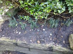 16.)  No way, Snowdrops?  Somewhat misinformed as the two days Dad was here were the coldest in Sheffield so far this year, 0 -1degrees!