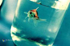Goldfish...