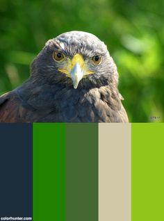 "Eyes Of A Hawk........harris Hawk. ""inca"" Color Scheme from colorhunter.com"