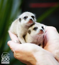 Meet Frick and Frack, Point Defiance Zoo's newest Meerkat kits, born to mom Darwin on February 3. See ALL the pictures on ZooBorns.com. http://www.zooborns.com/zooborns/2013/02/meet-frick-and-frack-point-defiance-zoos-newest-additions.html