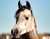 L FARAMIR (Ajman Moniscione x Farasha) 2009 grey stallion bred by Lonhult Arabians, Sweden