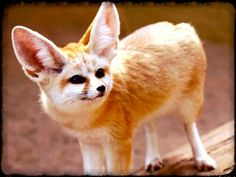 I got: Fennec Fox! Which of these bizarre creatures is your true Patronus ?