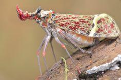Phrictus quinquepartitus, fulgorid hopper (3)  Almost Elizabethan!