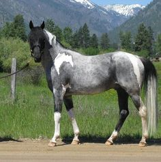 Blue Roan Paint. *drooooool* so freaking pretty I cannot stand myself. I've always had a soft spot for blue roans...