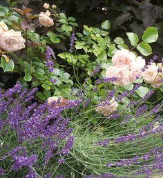 Rosier New Dawn mis en valeur par de longs épis violets
