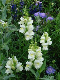 White anthirrium (snapdragons) and scabiosa (pincushion flower)  in an English garden in Sardinia