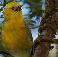 Mohua crowned Bird of the Year | Forest and Bird
