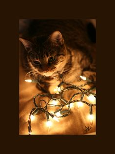 Photo of christmas cats for fans of Christmas 9351815 Cat Christmas Cards, Christmas Animals, Christmas Lights, Christmas Kitten, Staff Bull Terrier, Family Christmas Pictures, Family Pictures, Aggressive Dog, Christmas Photography