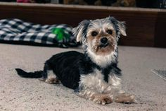 Petfinder  Adoptable | Yorkshire Terrier Yorkie | Dog | Reinbeck, IA | Melodee : ) ADORABLE!