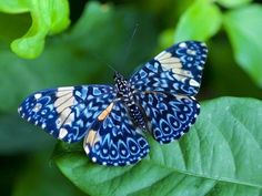 "Blue Cracker Butterfly or Calico (Hamadryas) - called ""cracker"" because the…"