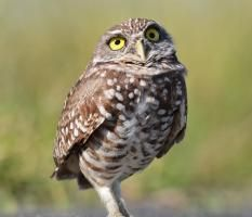 Burrowing Owl. (At Risk) Global warming threatens the birds we love, including the Barn Owl But if we band together, we can build a brighter future for birds and ourselves. Take action today by spreading the word.