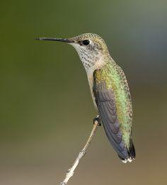 Calliope Hummingbird | Female Calliope Hummingbird | Flickr - Photo Sharing!