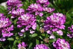 Buy Iberis Absolutely Amethyst Online | Hayloft Plants