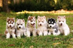 Cute White Husky Puppies