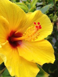 Yellow hibiscus. The yellow hibiscus is Hawaii's state flower. If a Hawaiian woman wears a hibiscus flower behind her left ear, she is married or in a relationship. If the hibiscus is worn behind the right ear, she is single or openly available for a relationship. The hibiscus is also used as an offering to goddess Kali and Lord Ganesha in Hindu worship.