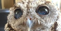 Zeus The Blind Screech Owl Holds The Universe In His Eyes