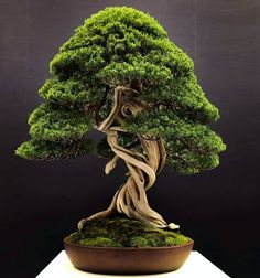 بنسای Bonsa Bonsai Art, Bonsai Plants, Bonsai Garden, Bonsai Trees, Ikebana, Miniature Trees, Herbs, Landscape, Beautiful