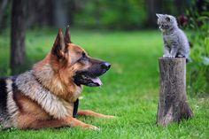 Bilder Shepherd Kätzchen Deutscher Schäferhund Katze Hunde Gras Tiere 1920x1280 Katzenjunges