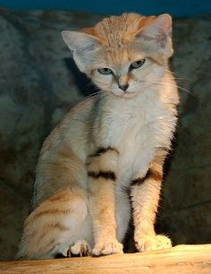 "The Sand cat (Felis margarita), also called ""sand dune cat"", is a small wild cat found in African and Asian deserts. (""Desert cat"" is reserved for Felis silvestris lybica, the African wildcat.) The Sand cat lives in arid areas that are too hot and dry even for the African Wildcat: the Sahara, the Arabian Desert, and the deserts of Iran and Pakistan."