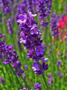 Lavandula angustifolia (English Lavender),