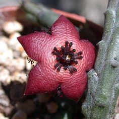 Tridentea longii. Syn of Tromotriche