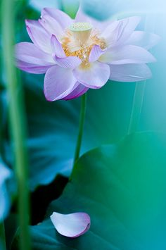 Lotus // #flower #nature #photography #beautiful