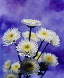 Chrysanthemen Poster & Chrysanthemen Kunstdrucke online kaufen - ARTFLAKES.COM