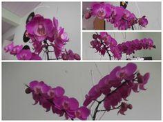 Orquídea Phalaenopsis - Orquídea Mariposa - Orquídea Boca