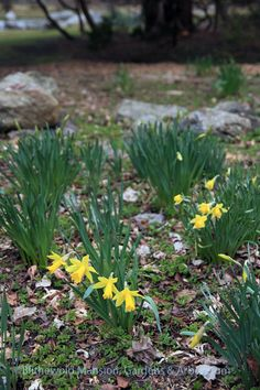 Some sweet early long cupped daffodils (could they be Narcissus 'February Gold'?) down by the Water Garden. (April 5, 2013)