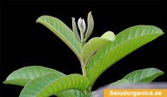 TU SALUD Y BIENESTAR : 17 beneficios para la salud de las hojas de guayab...