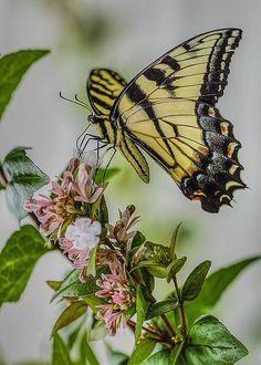 Swallowtail By Larry Helms