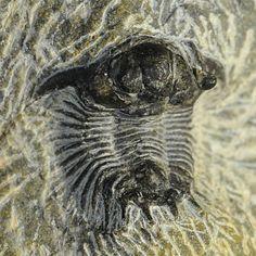 Trilobite Acanthopyge (Lobopyge) sp.