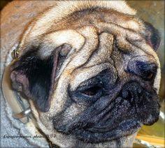 My scrunchy pug..