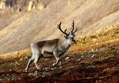 Svalbardrein pho - Reindeer - Wikipedia, the free encyclopedia (2015, Per Harald Olsen)