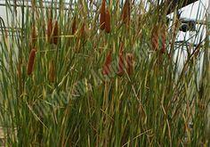 Zebratails Cattail - Typha Angustifolia Variegata