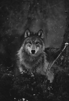 🐺If you Love Wolves, You Must Check The Link In Our Bio 🔥 Exclusive Wolf Related Products on Sale for a Limited Time Only! Tag a Wolf Lover! 📷: Please DM . No copyright infringement intended. All credit to the creators. Wolf Photos, Wolf Pictures, Beautiful Wolves, Animals Beautiful, Wolf Life, Wolf Photography, Dance Of Death, Wolf Tattoo Design, Wolf Wallpaper