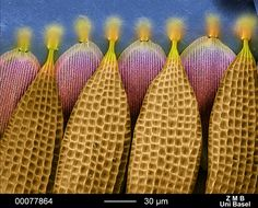 Microscopic segment of Butterfly Wing.